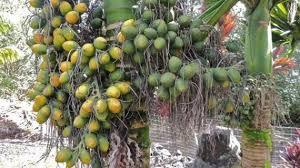 budidaya tanaman pinang dan khasiatnya
