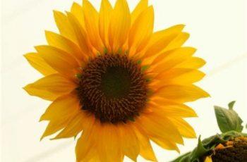 Bunga Matahari Bikin Harimu Ceria