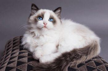 Daftar Kucing Dengan Harga Fantastis