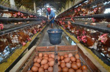 pakan ayam petelur berkualitas